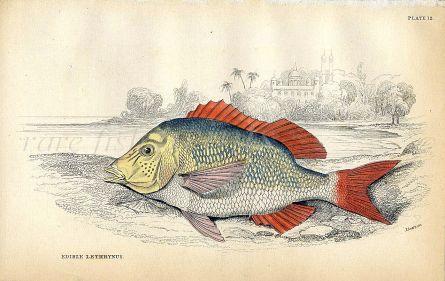 JARDINE/LIZARS - THE EDIBLE LETHRYNUS fish print