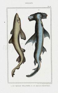 LACÉPÈDE TOPE & HAMMERHEAD SHARK print