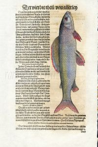 1598 GESNER FISH PRINT - THE GRAYLING