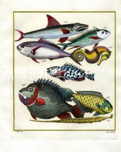 PLATE THIRTEEN: EXTRAORDINARY FISHES OF AMBON - JOBFISH, SEA HORSE, FUSILIER print