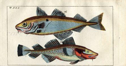 THE COD & HADDOCK fish print
