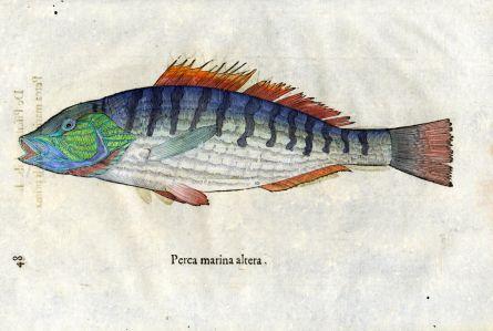ALDROVANDI - THE MARINE PERCH print (Perca marina altera)