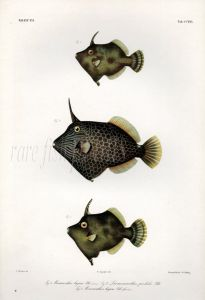 FAN-BELLIED FILEFISH print (Monacanthus Hajam, Liomonacanthus Pardalis)