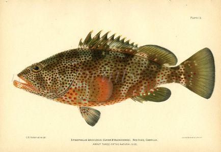 THE RED HIND CABRILLA GROUPER fish print
