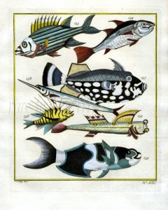 PLATE FOURTEEN: EXTRAORDINARY FISHES OF AMBON - SQUIRRELFISH,  BAGULA, SADDLEFISH, MUDSKIPPER print