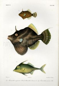 THE FILEFISH, FAN-BELLIED LEATHERJACKET & TRIPODFISH print (Monacanthus, Triacanthus)