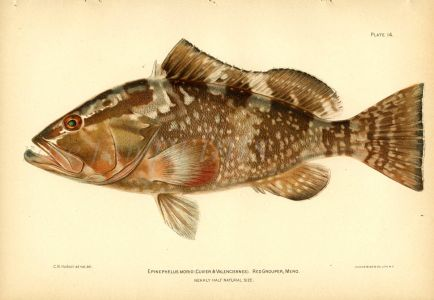 THE RED GROUPER fish print