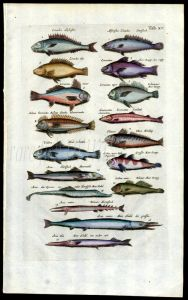 MERIAN & JONSTON - SEA BASS, GARFISH, NEEDLEFISH print