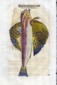 1598 GESNER FISH PRINT - THE FLYING GURNARD