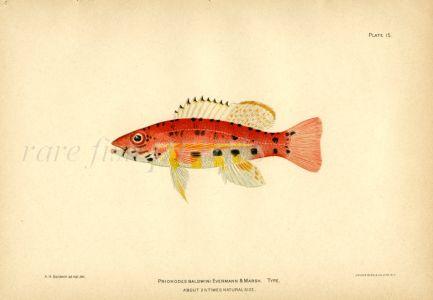 THE PRIONODES BALDWINI fish print