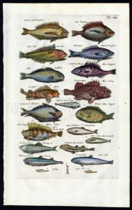 MERIAN & JONSTON - SEA BREAM, SCORPION FISH, SMELT, HERRING print