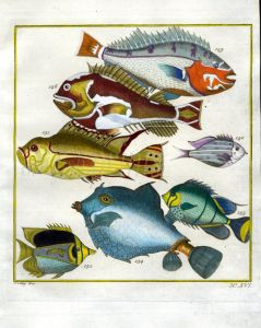 PLATE SIXTEEN: EXTRAORDINARY FISHES OF AMBON - SNAPPER, BUTTERFLYFISH, THORNBACK BOXFISH print