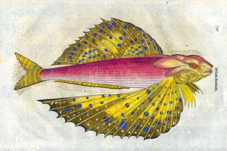 ALDROVANDI - THE FLYING GURNARD print (Milus Authoris)