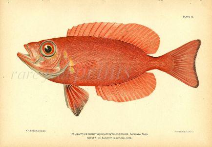 THE ATLANTIC BIGEYE fish print