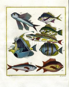 PLATE SEVENTEEN: EXTRAORDINARY FISHES OF AMBON - FLYINGFISH, HORNED BUTTERFLYFISH, REGAL ANGELFISH, BANDED ANGELFISH print