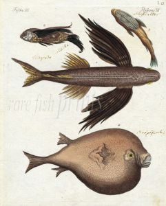 THE GREAT FLYING FISH, SEA SWALLOW, REMORA, ORB  print