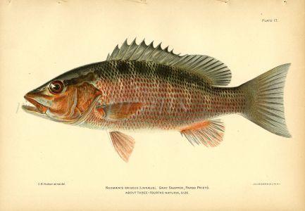 THE GREY SNAPPER fish print