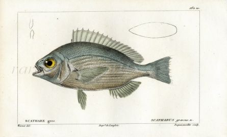 CUVIER - THE SEA BREAM fish print