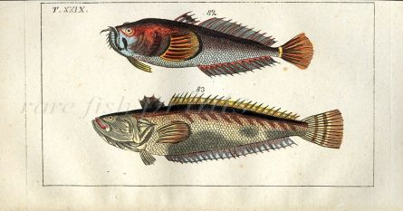 THE STARGAZER & COMMON WEEVER fish print