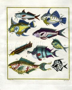 PLATE TWENTY: TRIGGERFISH, LINED SURGEONFISH, CLEANER WRASSE, LONG-FIN BANNERFISH print