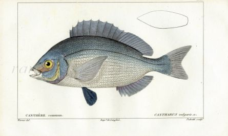 CUVIER - THE BLACK SEA BREAM fish print