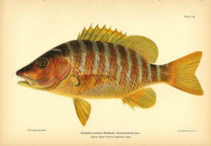 THE SCHOOLMASTER SNAPPER  fish print