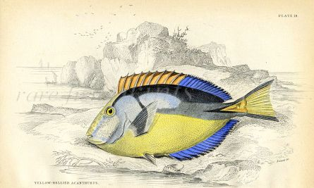 JARDINE/LIZARS - THE YELLOW-BELLIED ACANTHURUS fish print