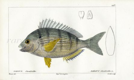 CUVIER - THE BLACK SPOT BREAM fish print