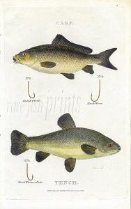 SCOTT/BUNNEY & GOLD: CARP & TENCH fishing print 1801