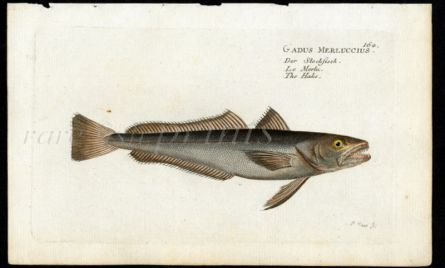 THE HAKE print (Gadus Merluccius)
