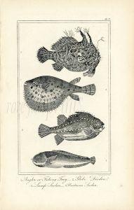 BUFFON/DAVENPORT - FROGFISH, GLOBE DIDION, LUMP SUCKER print 1821