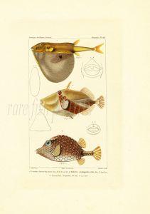 """CUVIER - THE ANIMAL KINGDOM (""""Iconographie du Règne) - PUFFERFISH, TRIGGERFISH & TRUNKFISH print 1829 - 1844"""