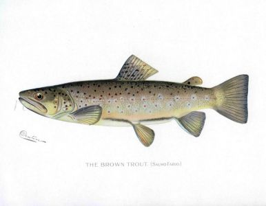 THE MALE BROWN TROUT print (Salmo Fario )