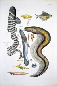 THE ZEBRA SHARK, FILEFISH, FOUR-EYE, PIPEFISH, RAZORFISH, ELECTRIC EEL fish print