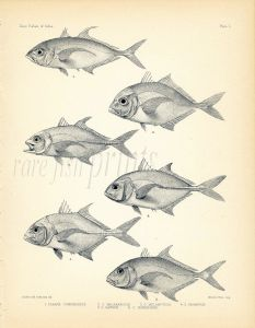 FRANCIS DAY - TREVALLEY - FRINGEFIN, BLUE FIN, GIANT TREVALLY print  (Caranx) 1899