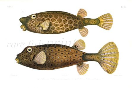 OSTRACION RHINORHYNCHOS & OSTRACION TETRAGONUS - HORNED-NOSE BOXFISH & DOTTED TRUNKFISH print