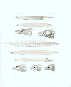 ATYPICHTHYS SICARIUS, CINTUS, DENTATUS, FALCIDENS, ACUS  - Garman deep sea fish print