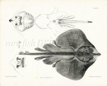 RICHARDSON - THE THORNBACK SKATE print 1839 - 1843