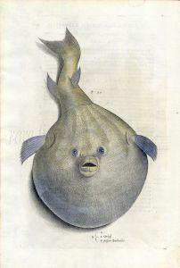 IPPOLITO SALVIANI - 1554 - THE PUFFERFISH (Orbis) - AQUATILUM ANIMALIUM HISTORIA