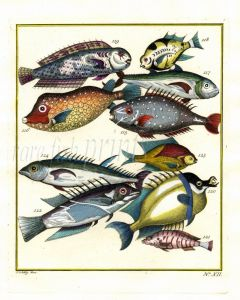 PLATE TWELVE: EXTRAORDINARY FISHES OF AMBON - UNICORNEFISH, BOXFISH, WRASSE print