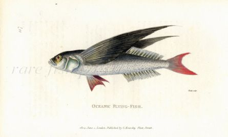 THE  OCEANIC FLYINGFISH print