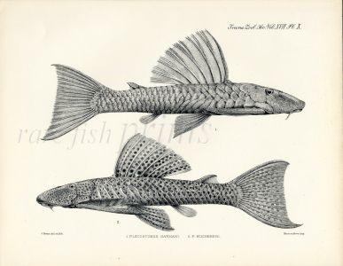 ZOOLOGICAL SOCIETY - ARMORED CATFISH Print - 1904 PL. X (Plecostomus)