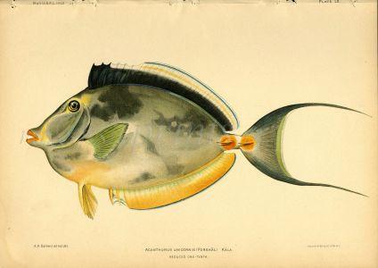 BLUESPINE UNICORNFISH print (Acanthurus Unicornis)