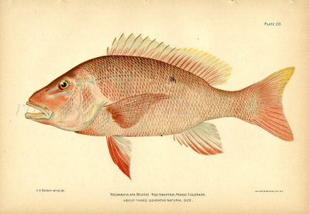 THE RED SNAPPER fish print
