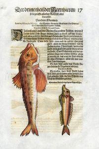 1598 GESNER FISH PRINT - THE RED GURNARD