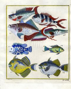 PLATE TWENTY TWO: EXTRAORDINARY FISHES OF AMBON - OBLIQUE-BANDED SNAPPER, STARRY TRIGGERFISH, BLUE-FINNED TRIGGERFISH, YELLOWMARGIN TRIGGERFISH print