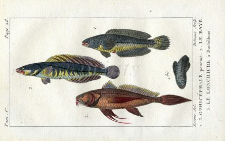 LANCET-TAIL, STREAKED & PUNCULATED SNAKEHEAD print