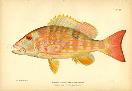 THE LANE SNAPPER fish print