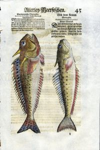 1598 GESNER FISH PRINT - THE GREATER & LESSER WEEVERFISH