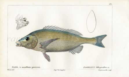 CUVIER - THE PAGELLUS fish print